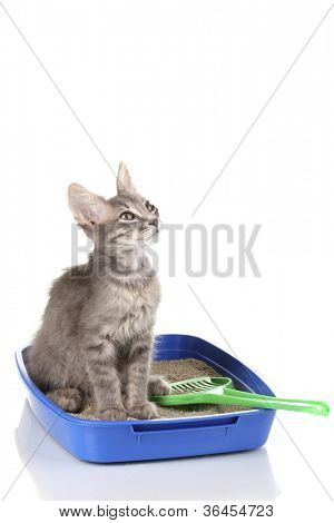 Small gray kitten in blue plastic litter cat isolated on white