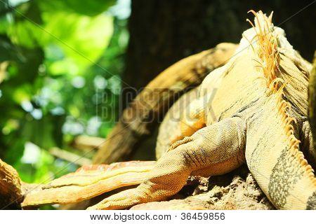 back of an iguana.