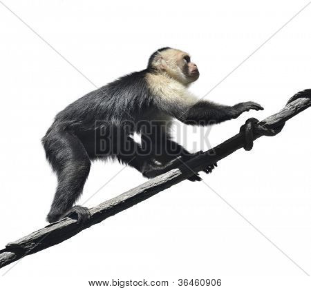Mono capuchino de cara blanca sobre fondo blanco