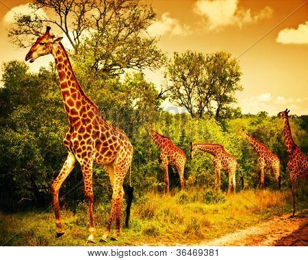 Image of a South African giraffes, big family graze in the wild forest, wildlife animals safari, Kruger National Park, bushes of Sabi Sand game drive reserve, beautiful nature of Africa continent, Image of a South African giraffes, big family graze in the wild forest, wildlife animals safari, Kruger National Park, bushes of Sabi Sand game drive reserve, beautiful nature of Africa continent