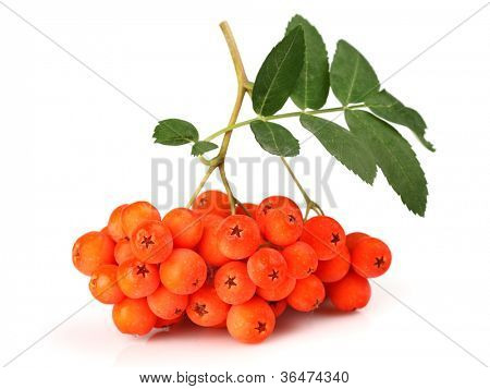 Ashberry with leaves