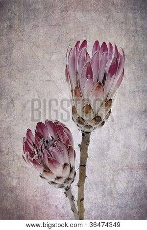 Heads of two Pink Ice protea flowers (Protea Neriifolia), vintage effect background.