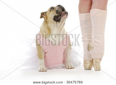 dancing dog - english bulldog in tutu sitting beside ballerina