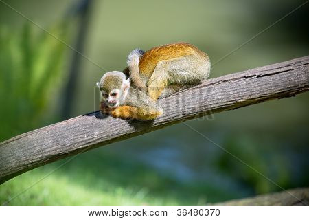 A small monkey sitting on a tree branch