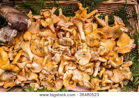 Golden Chanterelles mushroom basket dordogne perigord France