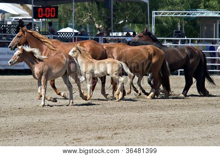 SAN JUAN CAPISTRANO, CA - AUGUST 25: Bucking horses and their foals circle the ring at the PRCA Rancho Mission Viejo rodeo in San Juan Capistrano, CA on August 25, 2012.