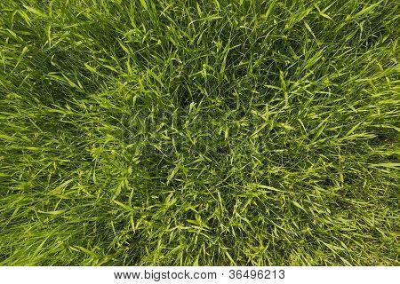 texture of a pure green dense grass