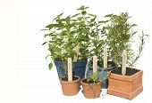 image of plant pot  - Basil mint thyme and lavender potted herbs in line and isolated against white - JPG