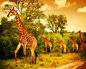 stock photo of continent  - Image of a South African giraffes - JPG