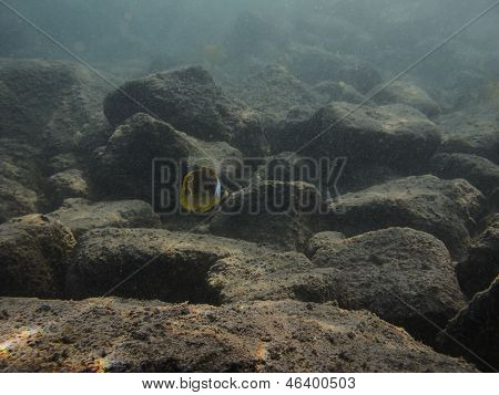 Lonely Raccoon Butterflyfish
