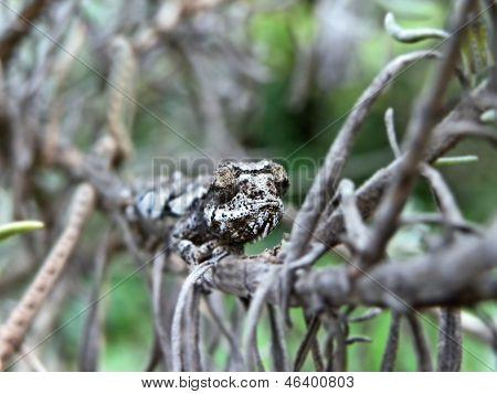 Baby Dwarf Chameleon
