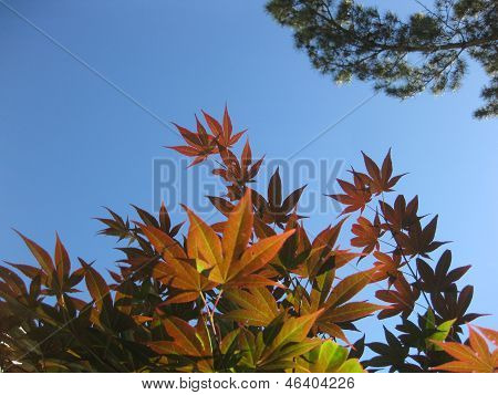 Japanese Maple Canopy Too
