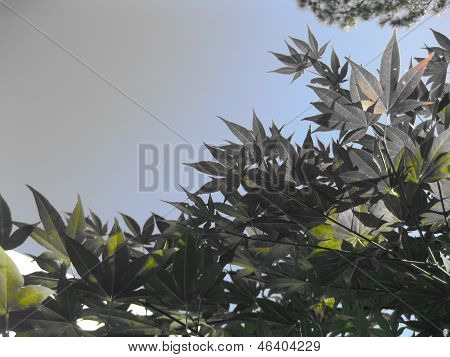 Japanese Maple Canopy Tree