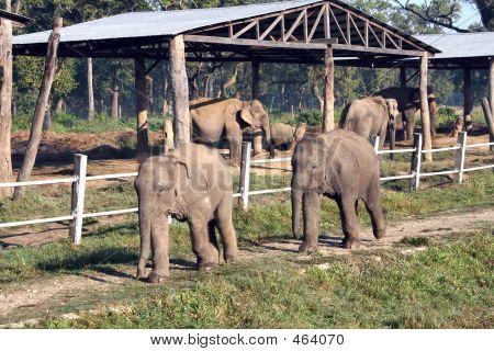 Bebê elefantes - Nepal