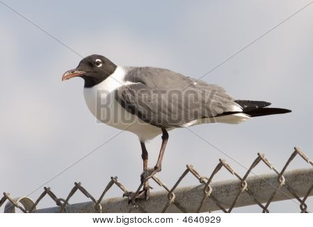 Laughing gull breeding