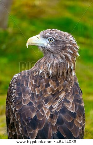 Golden Eagle Eagle