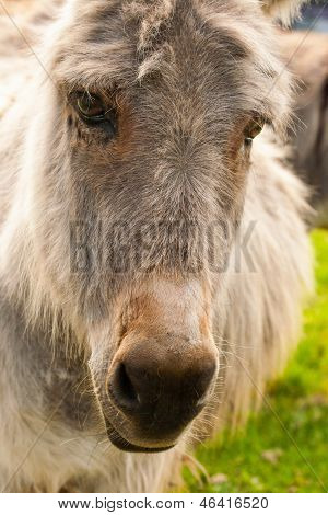 Portrait Of A Donkey In A Field In Sunny Day