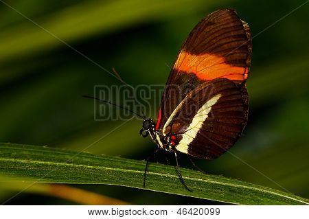 heliconius long wing butterfly
