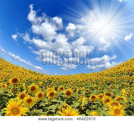 sunny sky over the sunflower field - fisheye shot