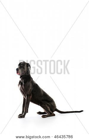 Grey Great Dane sitting over white background