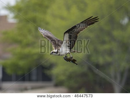 sea hawk catch