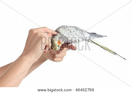 Woman Hand Holding And Caressing A Cockatiel Bird
