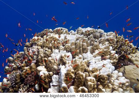 coral reef with great acropora coral andd exotic fishes anthias at the bottom of tropical sea on blu