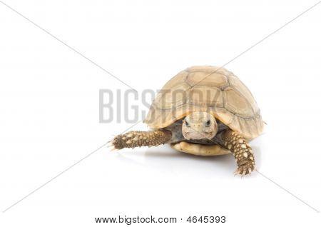 Ivory African Spurred Tortoise (geochelone Sulcata)