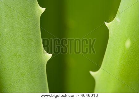 Aloe Vera Detail