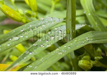 Raindrops On Daylily Leaves
