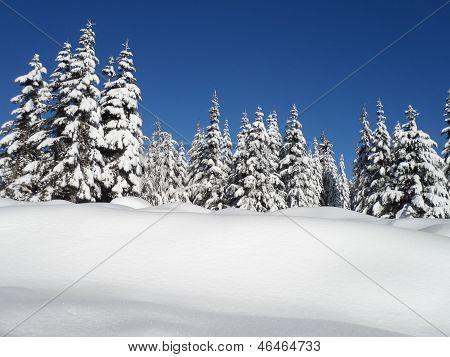 Snowed Hemlock
