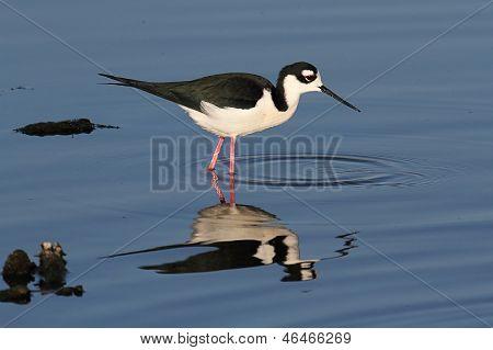 Black-necked Stilt (himantopus Mexicanus)
