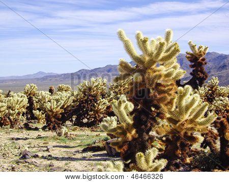 Cactos Cholla do deserto de Mojave