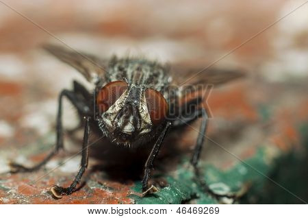 Front macro view of an insect Fly