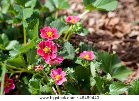 Pink Strawberry Blooms