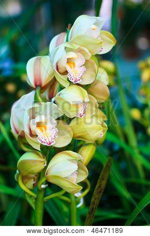 Lirio blanco de la lluvia, Zephyranthes candida