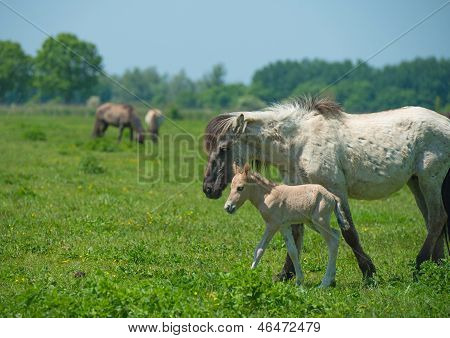 Foal and its mother in a sunny meadow