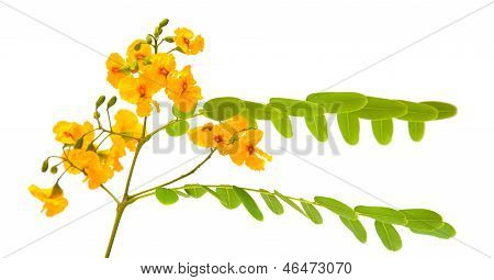 Yellow Cassia Flowers