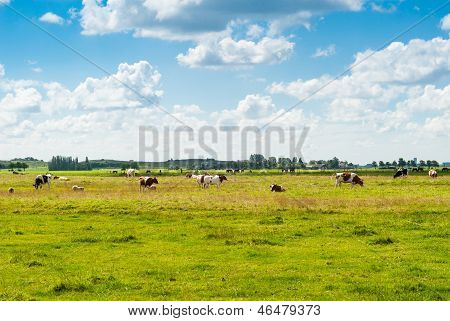 Dutch Landscape With Cows