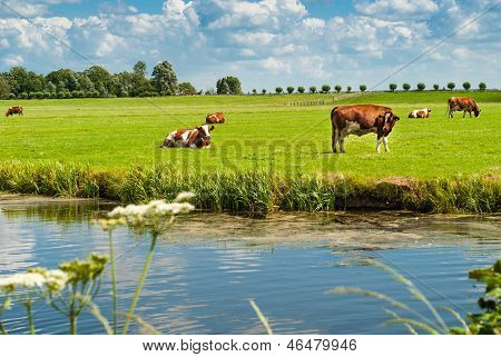 Cows Resting On A Field