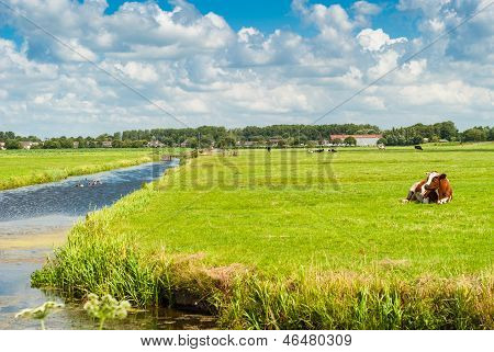 Cow Lying On A Field