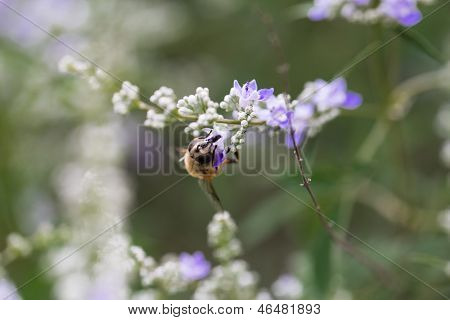 Honey Bees On The Flowers