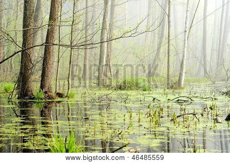 Swamp In Fog At The Sunrise