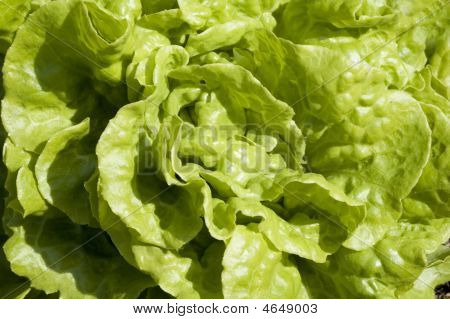 Lettuce Background Texture