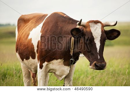 Photographed Close-up Of A Cow
