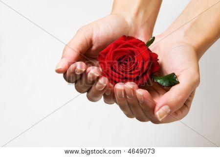 red Rose In Manicured Female Hands