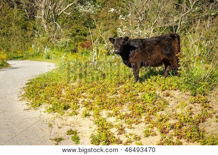Galloway Cattle In A Forest