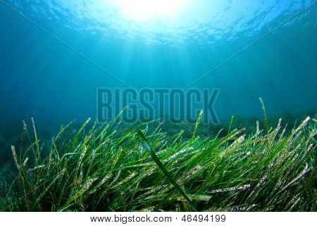Green Grass Underwater in ocean with Sunburst