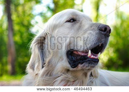 Close Up Portrait Of Golden Retriever Dog