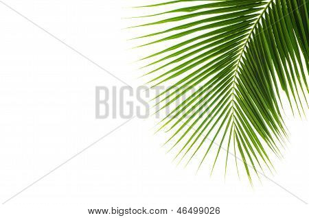 Coconut Leaves.